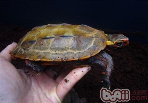 日本地龟的护理知识