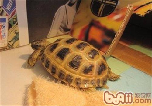 四爪陆龟的护理知识