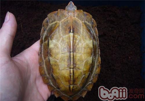 日本地龟的品种简介