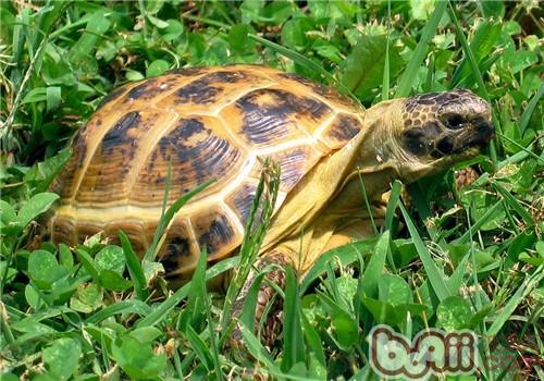 四爪陆龟的品种简介