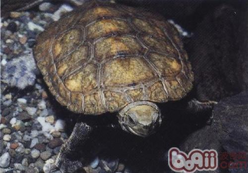 日本石龟的护理知识