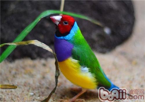 七彩文鸟的形态特征