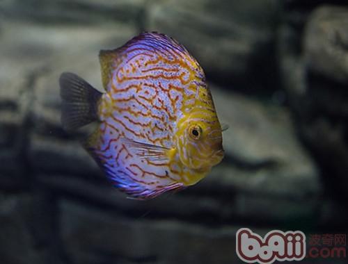 七彩神仙鱼的外形特点