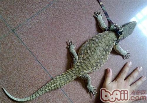 平原巨蜥的品种简介