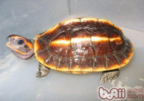 三棱黑龟的形态特征
