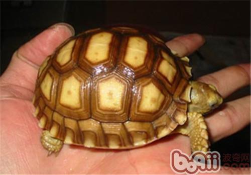 苏卡达象龟的品种简介