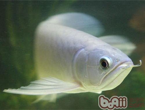 青龙鱼的外形特点