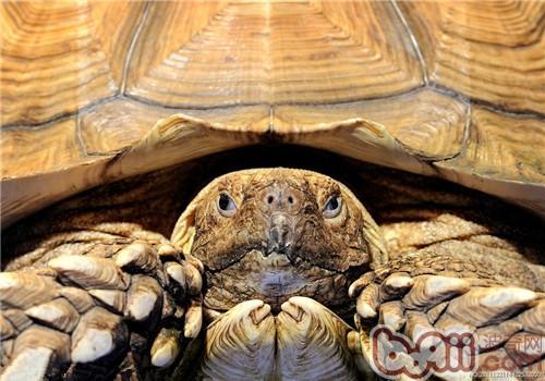苏卡达象龟的饲养要点