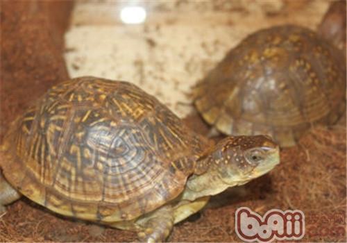 三趾箱龟的饲养要点