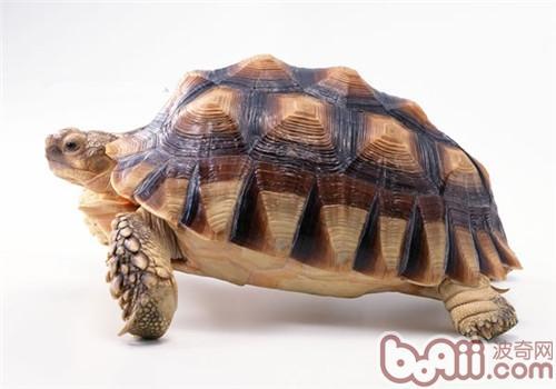 苏卡达象龟的护理知识
