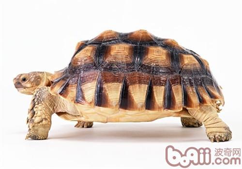 苏卡达象龟的外观特征