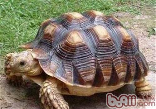苏卡达象龟的生活环境