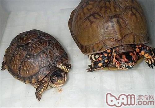 三趾箱龟的护理知识