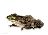 青铜蛙的饲养知识