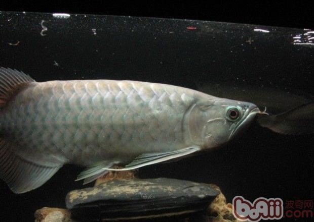 青龙鱼的饲养环境