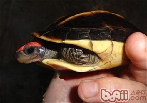 三棱黑龟的护理知识