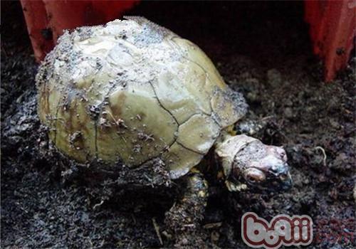 三趾箱龟的品种简介