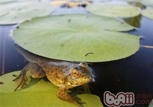 青铜蛙的品种简介