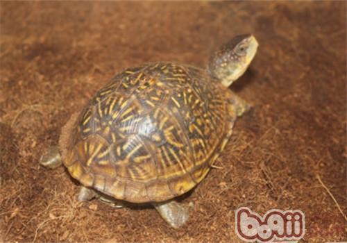 三趾箱龟的形态特征