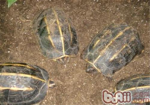 三棱黑龟的饲养要点