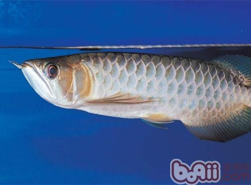 青龙鱼的品种简介