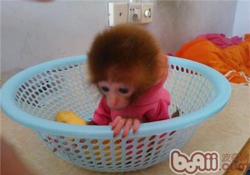 日本袖珍石猴的品种简介