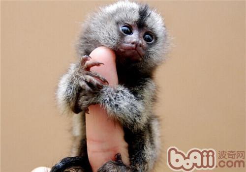 狨猴的生活环境