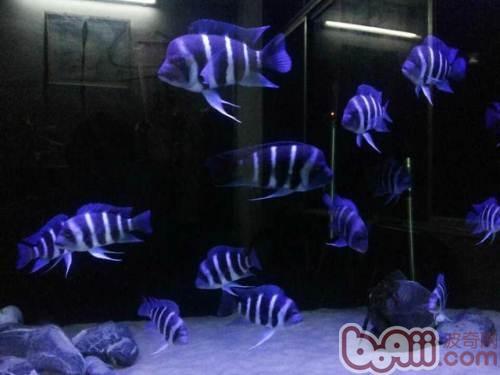萨伊蓝六间鱼的品种简介