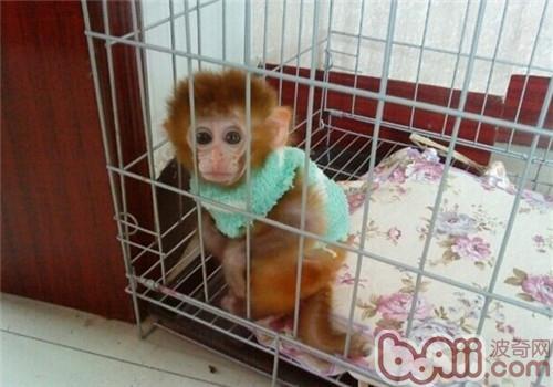 日本袖珍石猴的形态特征