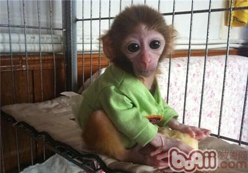 日本袖珍石猴的饲养知识