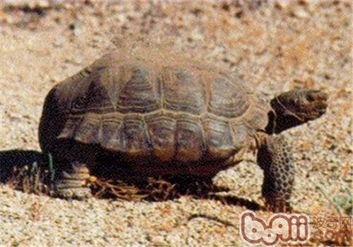 沙漠地鼠龟的外观特征