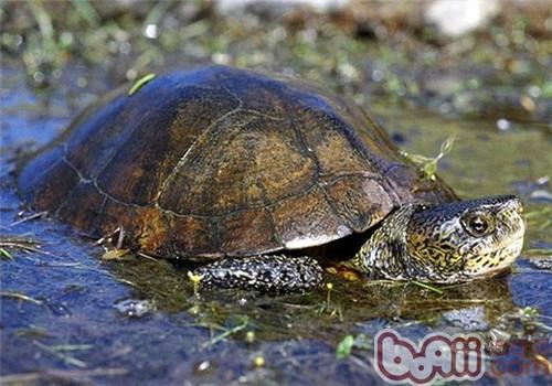 石纹水龟的外观特征