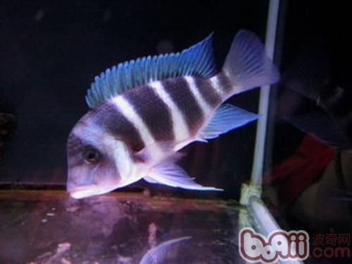 萨伊蓝六间鱼的外形特点