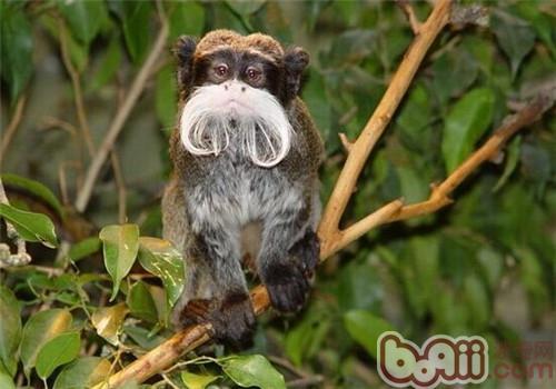 狨猴的饲养知识