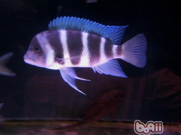 萨伊蓝六间鱼的饲养环境