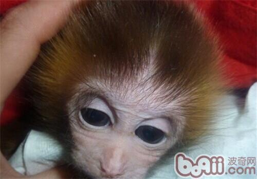 日本袖珍石猴的生活环境