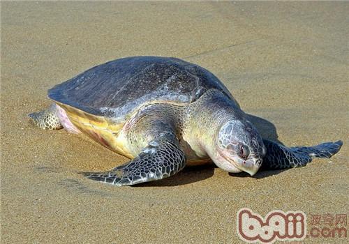 太平洋丽龟的品种简介