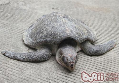 太平洋丽龟的护理知识