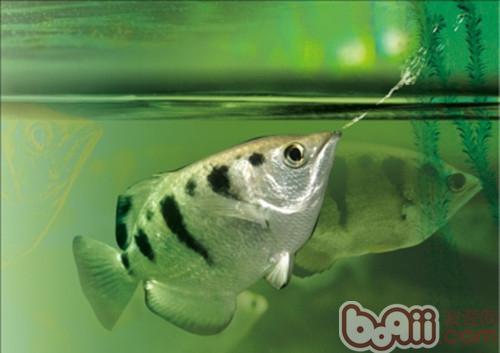 射水鱼的饲养环境