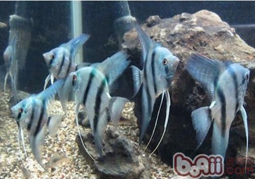 神仙鱼的外形特点
