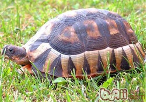 挺胸龟的品种简介