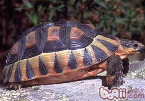 挺胸龟的护理知识