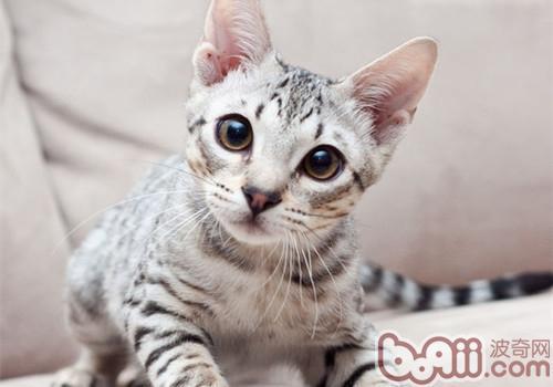 母猫假孕的症状及治疗方法