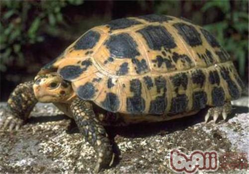 特拉凡柯陆龟的饲养要点
