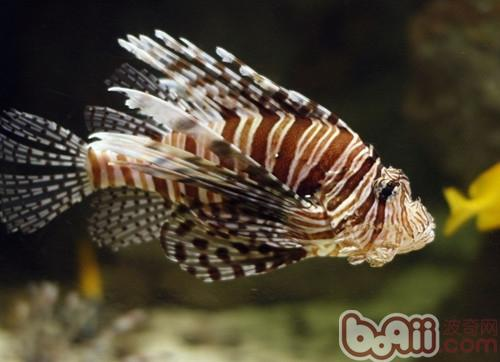 狮子鱼会吃小鱼,虾及缸中的甲壳类动物.