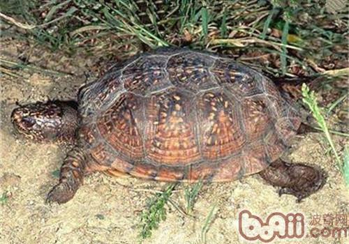 海岸箱龟的形态特征