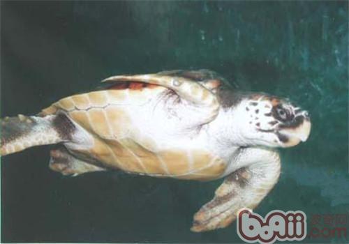 太平洋蠵龟的品种简介