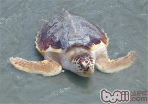 太平洋蠵龟的饲养要点