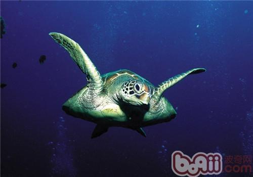 绿海龟的饲养要点