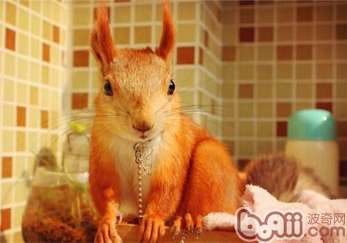 雪地松鼠的品种简介